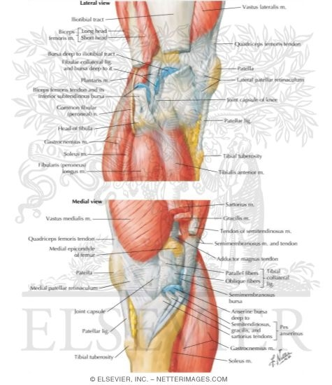lateral and medial views, Human Body
