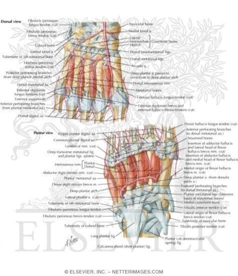 Interosseous Muscles and Plantar Arterial Arch