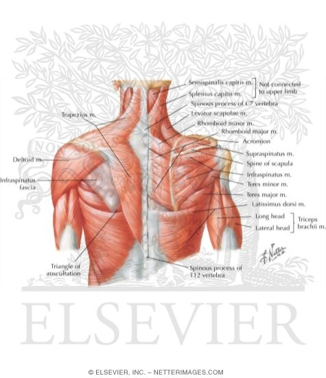 shoulder: muscles, Cephalic Vein