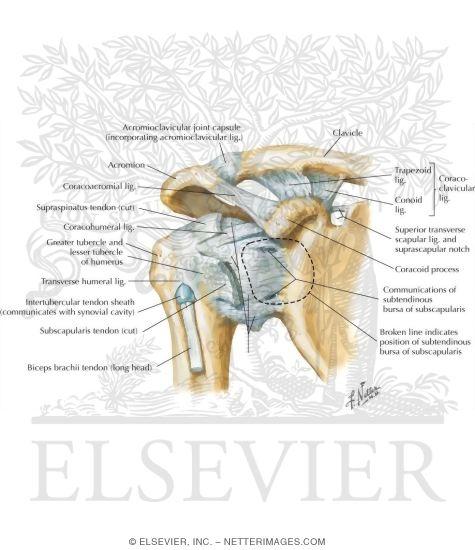 Shoulder Ligament Model Shoulder Ligaments Anterior
