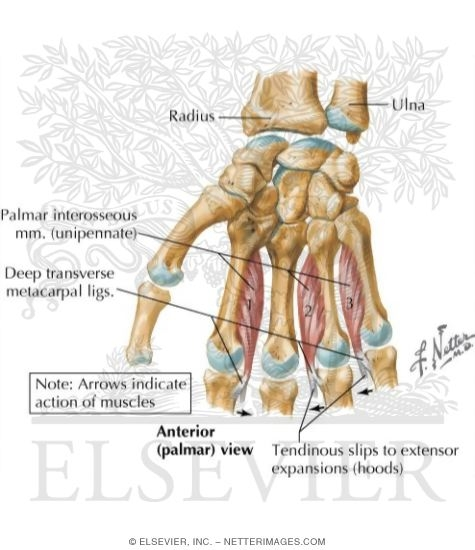 Intrinsic Muscles of Hand http://www.netterimages.com/image/50726.htm