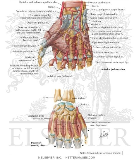 Intrinsic Muscles of Hand http://www.netterimages.com/image/50727.htm