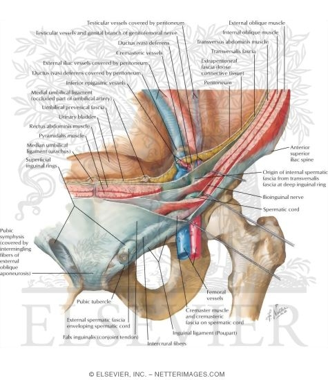 Woman Inguinal Canal Diagram - Block And Schematic Diagrams •