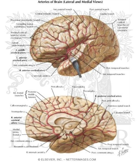 Arteries of brain lateral and medial views arterial supply of the arteries of brain lateral and medial views arterial supply of the brain lateral and medial aspects ccuart Gallery