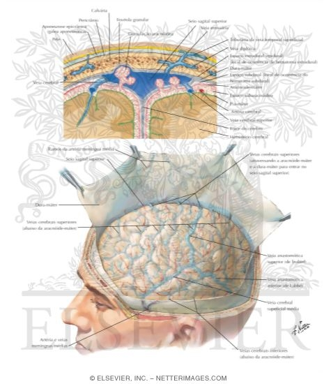 Meninges e Veias Cerebrais Superficiais