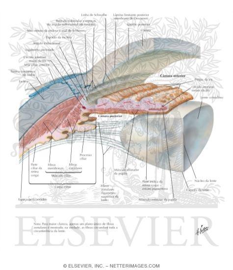 Anterior And Posterior Chambers Of Eye Anatomy Of The Anterior Chamber