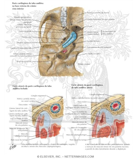 Auditory Tube Pharyngotympanic (Auditory) Tube