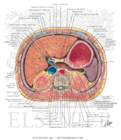 Abdominal cross sectional anatomy