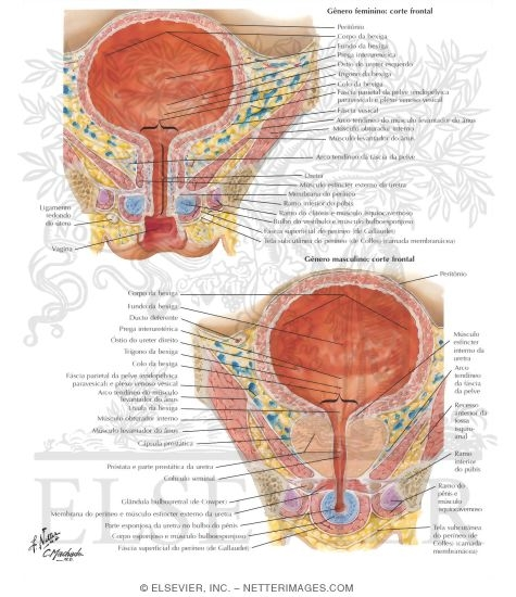 Urinary Bladder: Female and Male