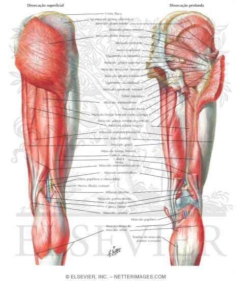 Muscles of Back of Hip and Thigh Muscles of Hip and Thigh: Posterior Views