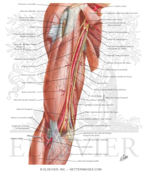 Brachial Artery In Situ