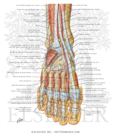 Muscles, Arteries, And Nerves Of Front Of Ankle And Dorsum