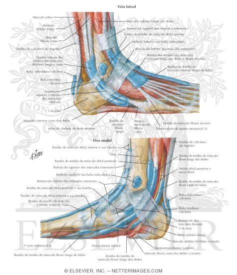 Synovial Tendon Sheaths at Ankle Tendon Sheaths of Ankle