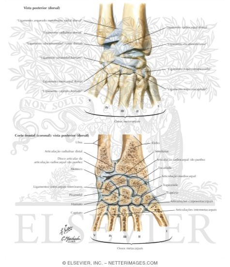 Illustration of Ligaments of Wrist from the Netter Collection