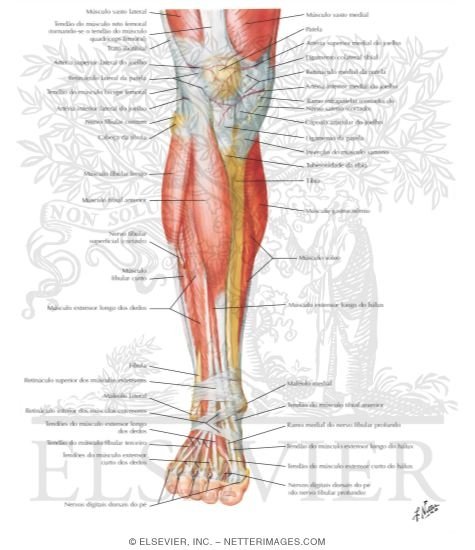 Of Leg Superificial Dissection Anterior View
