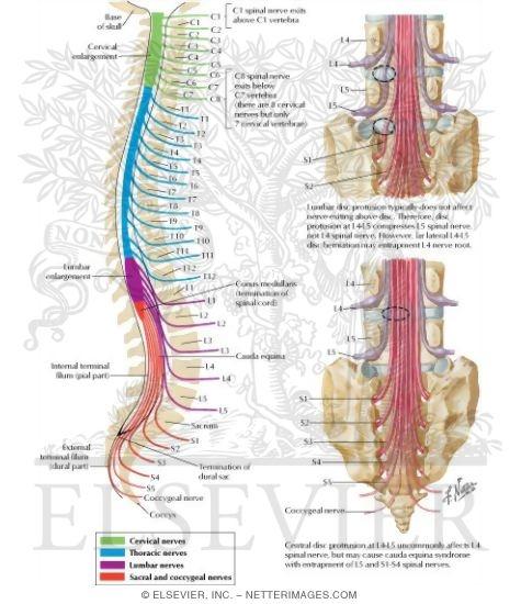 Spine Numbers Vertebra to Vertebrae The Spine