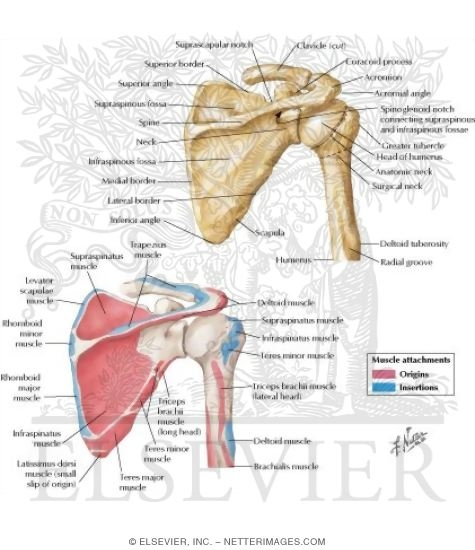 Posterior View Scapula and Proximal Humerus