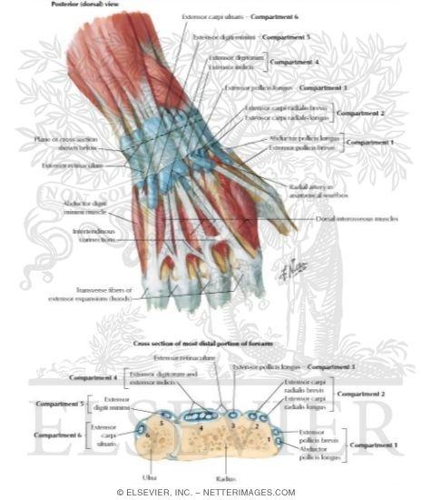 Indicis Proprius Extensor Tendons At Wrist