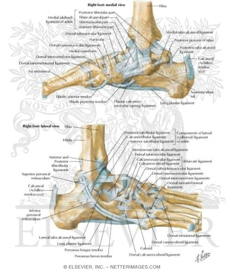 of the ankle joint ligaments and tendons of ankle, Cephalic Vein