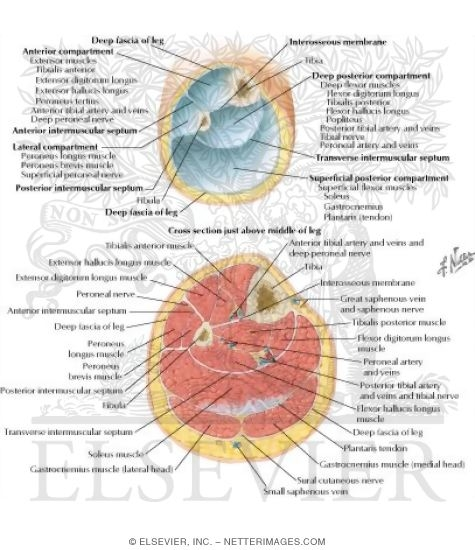 Fascial Compartments Of Leg Leg Cross Sections And Fascial