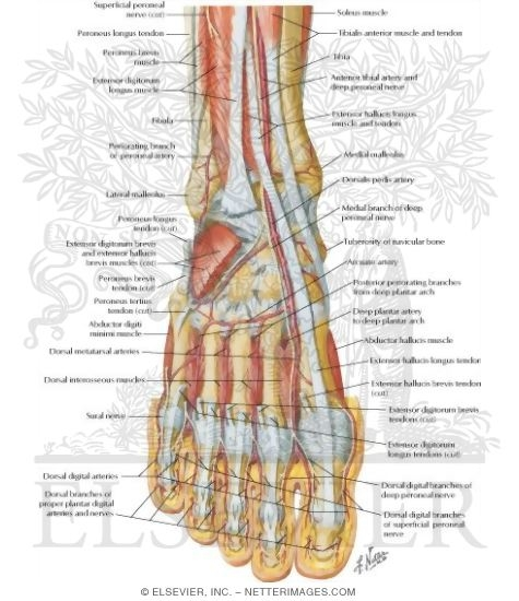 Muscles, Arteries, and Nerves of Front of Ankle and Dorsum of Foot ...