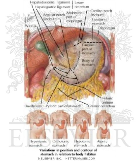 Anatomy, Normal Variations and Relations of Stomach Stomach In Situ