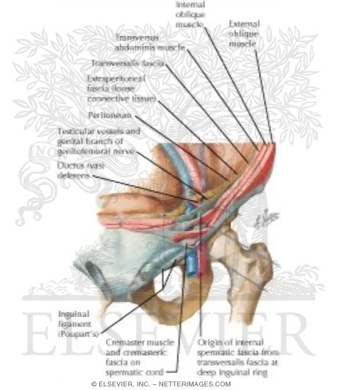 Inguinal Canal and Spermatic Cord The Adult Inguinal Region