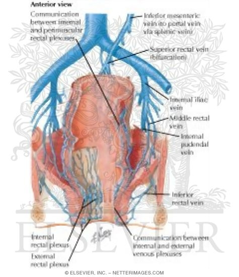 Veins Of Rectum And Anal Canal Venous Drainage Of Small And Large