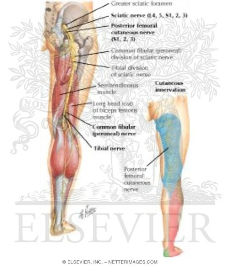nerve (l4, l5; s1, s2, s3) and posterior femoral cutaneous nerve, Muscles