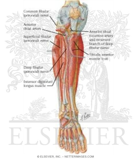 Muscles, Arteries, and Nerves of Leg: Deep Dissection (anterior view ...