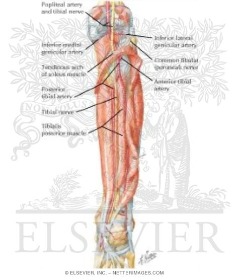 Muscles, Arteries, and Nerves of Leg: Deep Dissection (posterior ...