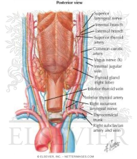 Thyroid Gland And Pharynx Posterior View