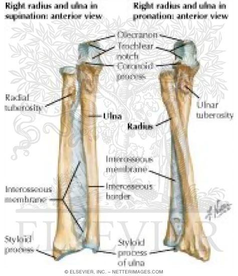Forearm: Bones