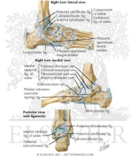 Ankle and Foot: Ankle Joints and Ligaments