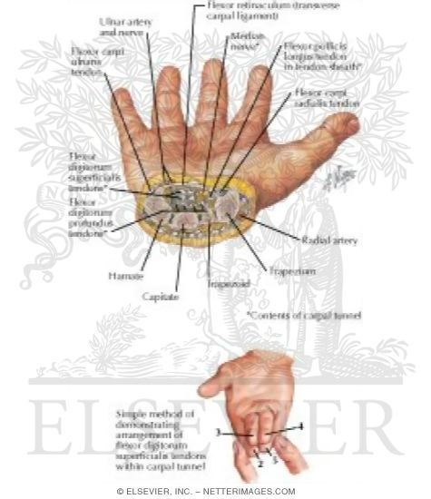 Cross Section of Wrist: Carpal Tunnel