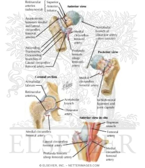 Arteries of femoral head and neck ccuart Image collections