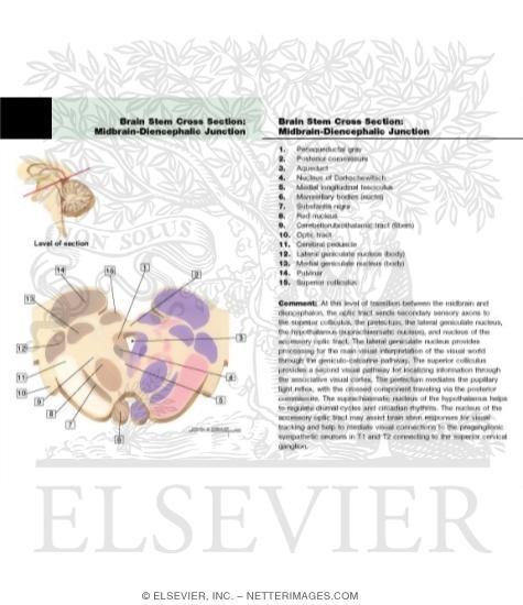 Diencephalon Junction Level Of The Posterior Commissure