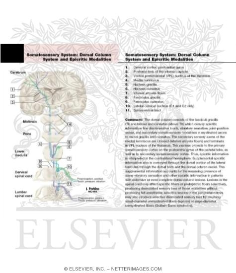 Somatosensory System: The Dorsal Column System and Epicritic Modalities