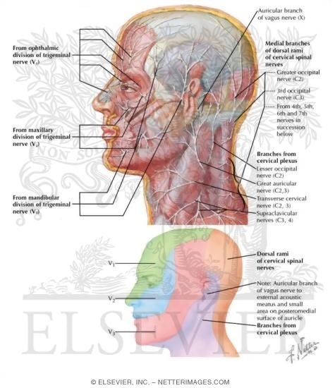 Nerves Of Head And Neck