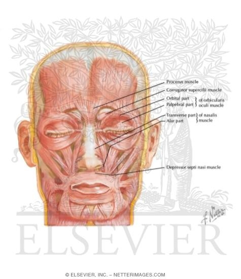 Muscles of Facial Expression: Oral Group