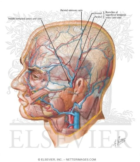 arteries and veins of neck. Arteries and Veins of the