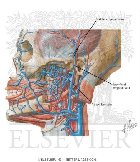 Face vascular anatomy
