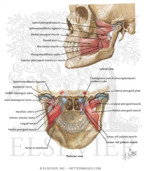 Muscles Involved In Mastication