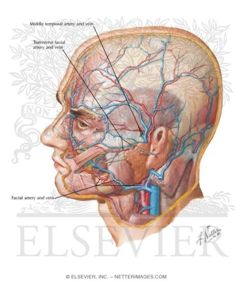 arteries in neck and head. Arteries and Veins of the