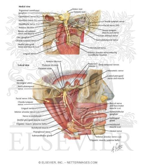 Mandibular Nerve V3