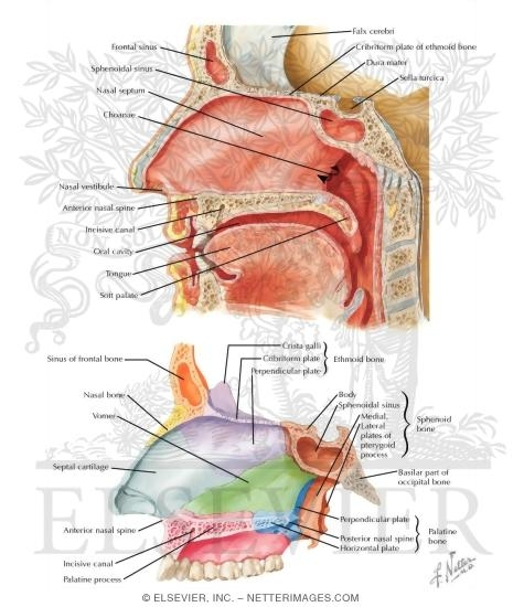 Medial Wall of Nasal Cavity (Nasal Septum)