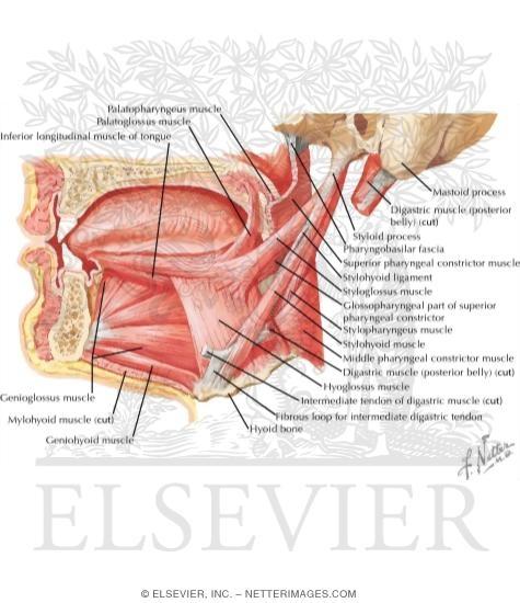 Ventral Tongue Anatomy 75292 | PIXHD