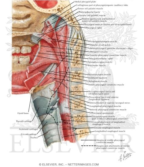 Muscles of Pharynx: Median (Saggittal) Section