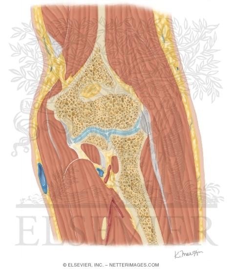 Cross Section of the Elbow: Coronal View