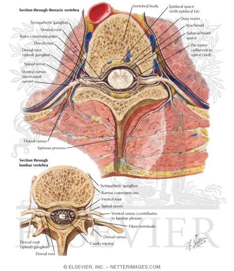 Nerve Origin Cross Sections Exit Of Spinal Nerves Spinal Nerves